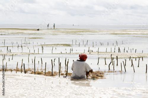 In de dag Zanzibar woman harvesting seagrass Tanzania, Zanzibar island