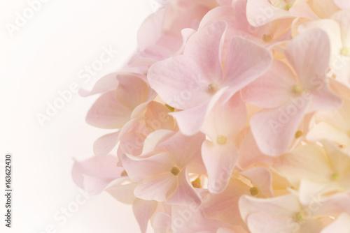Foto op Plexiglas Hydrangea White hydrangea