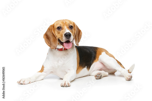 In de dag Hond beautiful beagle dog isolated on white