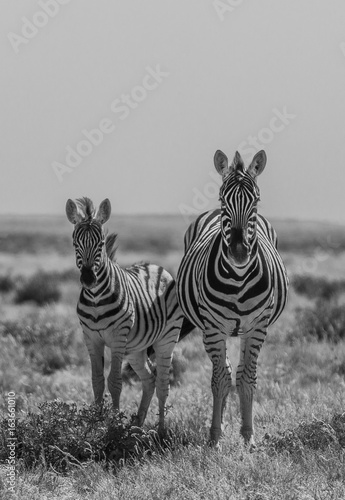 Poster Zebra Zebras in Etosha national park Namibia, Africa. Black and white picture.