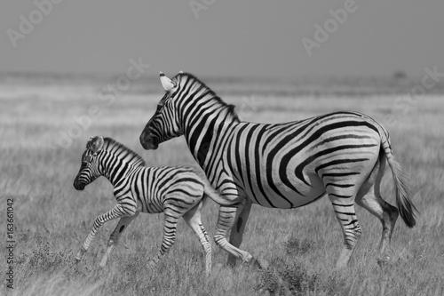 Foto op Canvas Zebra Zebras in Etosha national park Namibia, Africa
