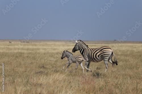 Staande foto Afrika Zebras in Etosha national park Namibia, Africa