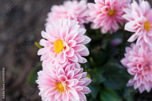 Poster de jardin Dahlia Pink closeup flowers