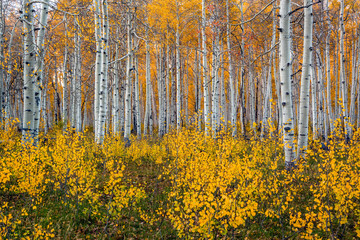 Fototapeta Brzoza Grove of bright yellow aspen trees in the fall.