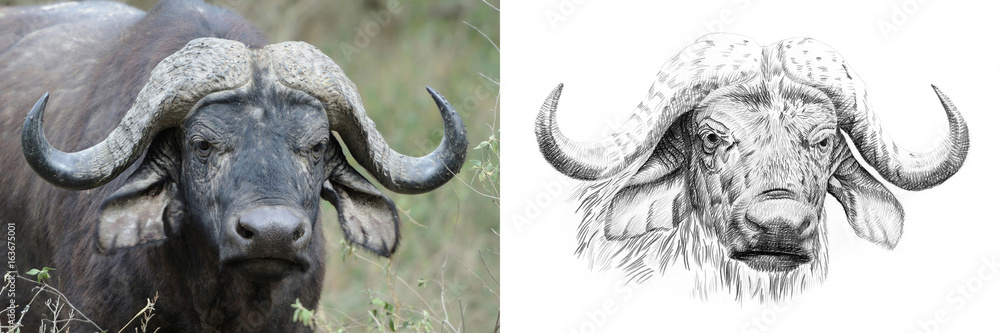 Fototapeta Portrait of buffalo before and after drawn by hand in pencil
