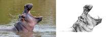 Portrait Of Hippo Before And A...