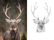 Portrait Of Deer Before And Af...