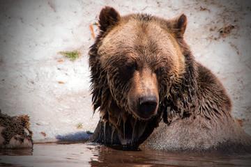 Fototapeta na wymiar Grizzly Bear
