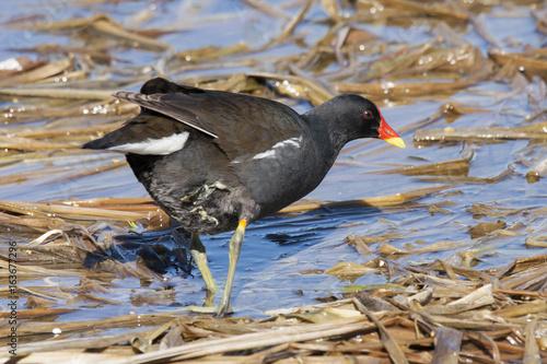 Common Moorhen Waterhen Swamp Chicken Feeding In Reeds On