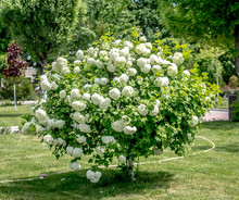 Bush With White Flowers Bulden...