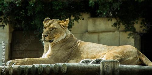 Foto op Plexiglas Krokodil Lionne