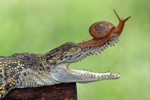 Snail on head crocodile