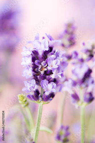 Fototapety, obrazy: Lavender flowers.