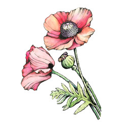 Panel Szklany Maki Graphic the branch red poppies flowers with a bud (Papaver somniferum, the opium poppy). Black and white outline illustration with watercolor hand drawn painting. Isolated on white background.