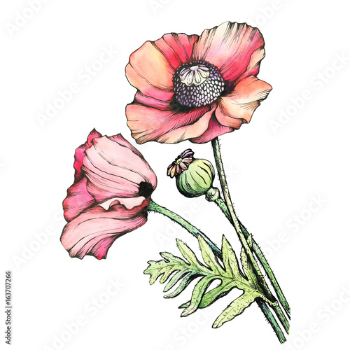 Foto op Aluminium Bloemen vrouw Graphic the branch red poppies flowers with a bud (Papaver somniferum, the opium poppy). Black and white outline illustration with watercolor hand drawn painting. Isolated on white background.