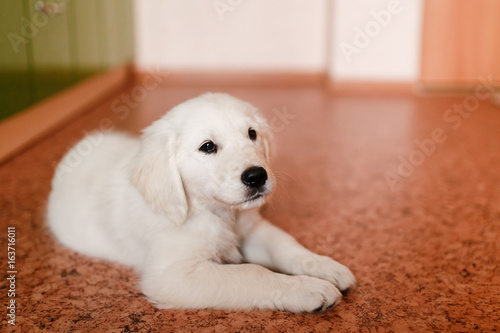 Young Puppy Of A Golden Retriever Labrador Performs Command To Lie And Smiles Concept The Contents Dog House Apartment See More