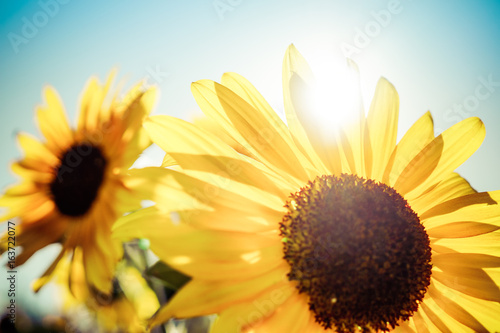 sunflowers-in-the-sun