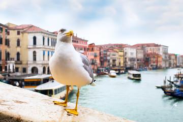 Fototapeta na wymiar Albatross at Rialto Bridge and Venice houses and canal on the background, Italy