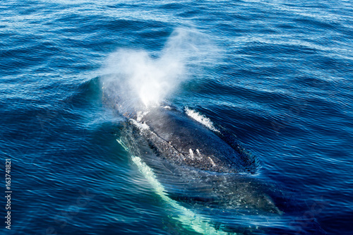 Humpback Whale surfacing and spraying water through blowhole Fototapet
