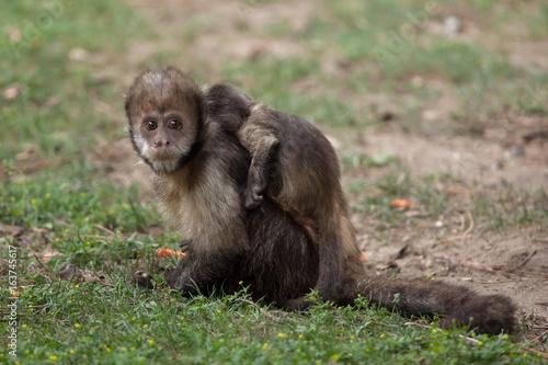Fényképezés  Golden-bellied capuchin (Sapajus xanthosternos)