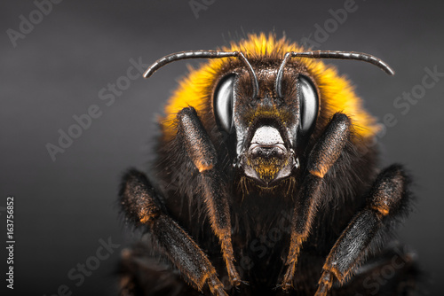 Portrait bumblebee close-up on black isolated background Poster Mural XXL