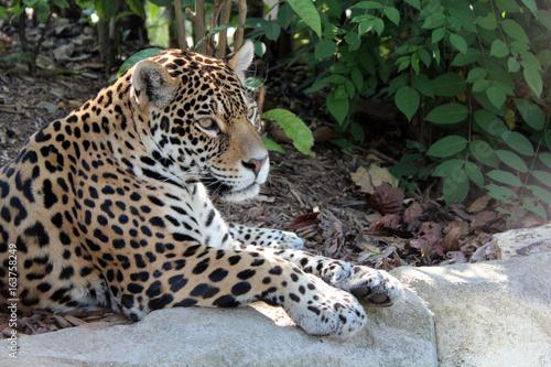 Plakat Jaguar