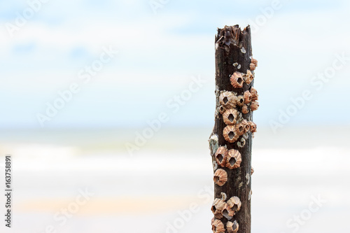 Group of barnacles bore to the wood Wallpaper Mural
