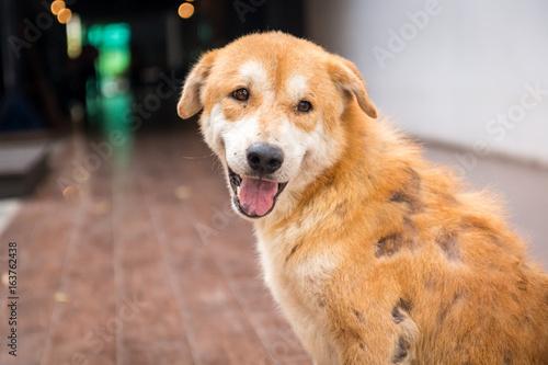 Fotografía  Stray dog skin disease. Leprous dog.