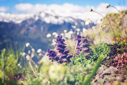 Photo  Wildflowers, close-up, blooming in the alpine meadow