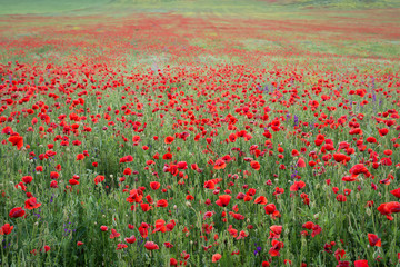 Fototapeta Beautiful field of red poppies