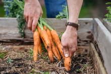 Man In Vegetable Garden Harvesting Carrots
