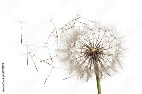 Keuken foto achterwand Paardebloemen en water White fluffy flower Tragopogon dubius, yellow salsify, wild oysterplant, goat`s beard, and seeds on white background. Big dandelion