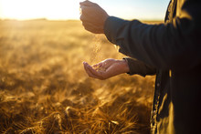 The Hands Of A Farmer Close-up Holding A Handful Of Wheat Grains In A Wheat Field. Copy Space Of The Setting Sun Rays On Horizon In Rural Meadow Close Up Nature Photo Idea Of A Rich Harvest