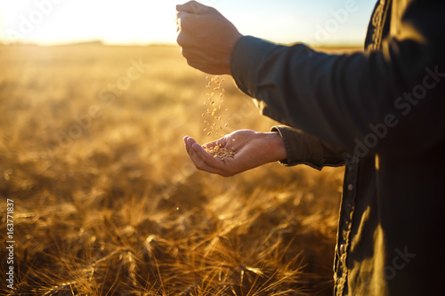 Fotografia The hands of a farmer close-up holding a handful of wheat grains in a wheat field