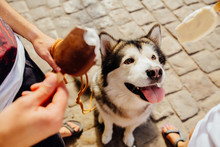 Top View Of Funny Dog Sitting On Paving Stone With Stick Out Tongue And Looking On Ice Cream. Unrecognizable Couple Holding Ice Cream Near Muzzle Malamute, Close Up, View From Above.