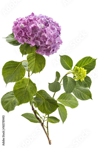 Beautiful pink hydrangea flowerhead, Hydrangea macrophylla, and hydrangea bud isolated on white background