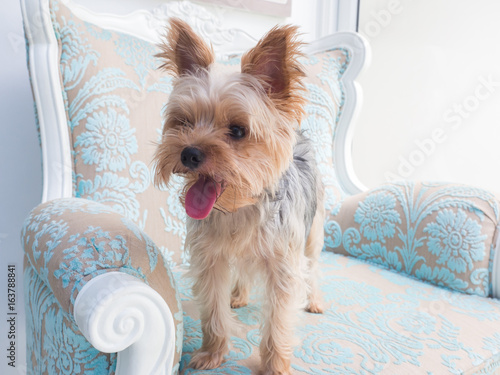 Small Cute Funny Yorkshire Terrier Puppy Dog Stand On The Luxury