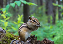 Little Chipmunk Gnaws Nuts On A Log In A Dense Green Forest