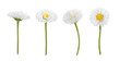 Set of daisy flowers isolated on a white