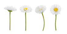 Set Of Daisy Flowers Isolated ...
