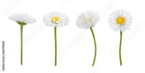 In de dag Madeliefjes Set of daisy flowers isolated on a white