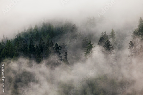 Forest in fog. Evergreen trees in clouds. Mysterious landscape