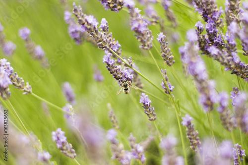 Tuinposter Lavendel Abeille butinant de la lavande