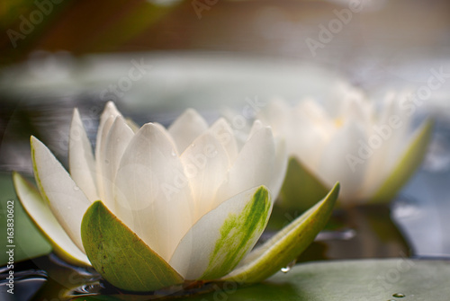 Nénuphars Lovely flowers White Nymphaea alba, commonly called water lily or water lily among green leaves and blue water