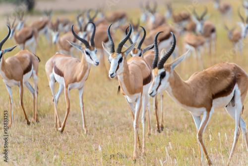 Photo Stands Antelope eine Herde von Springböcken, Antidorcas, im Kgalagadi-Transfrontier-Nationalpark, Auob Tal, Südafrika