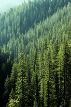Pine Forest Trees In Wilderness And Mountains
