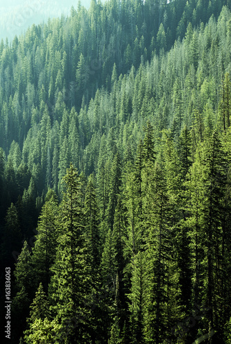 Pine Forest Trees in Wilderness and Mountains - 163836063