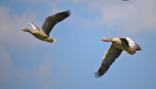 Two Greylag Geese In Flight