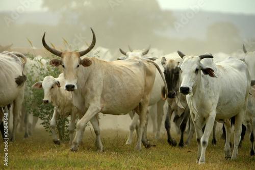 Poster de jardin Vache Fazenda de gado - MS