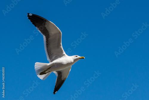 Fotomural  Gaivota voando no céu azul